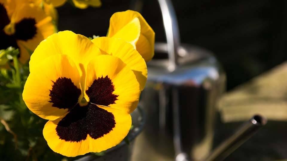 Menekşe çiçeği nasıl sulanır