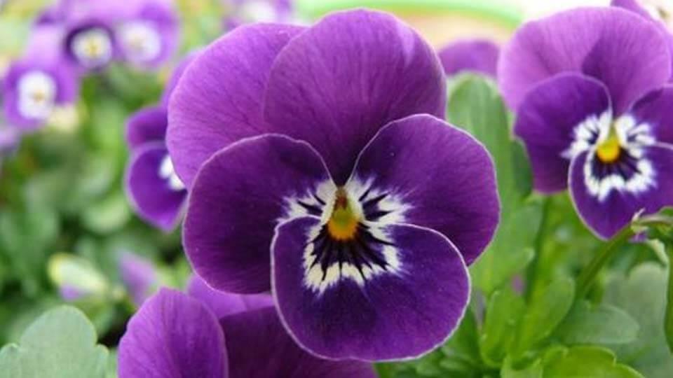 Menekşe çiçeği nasıl yetiştirilir